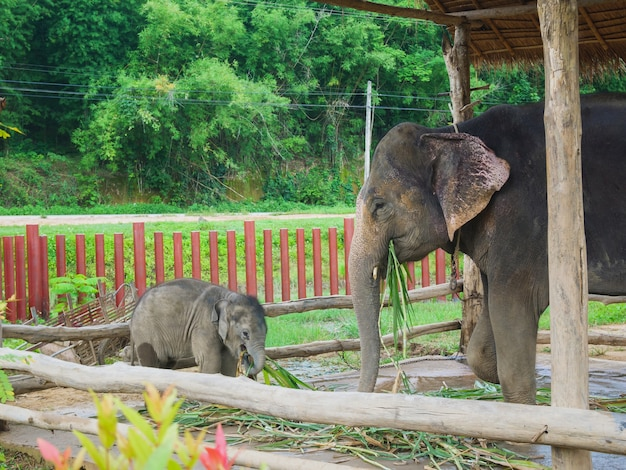 Elefantes asiáticos no zoológico