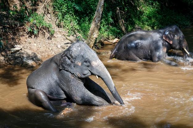 Elefantes asiáticos tomando banho no rio no acampamento de elefantes