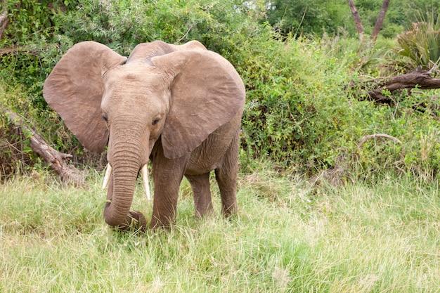 Elefantes caminham pela selva em meio a muitos arbustos
