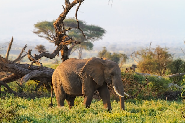 Elefantes da savana de amboseli. quênia, montanha kilimanjaro.