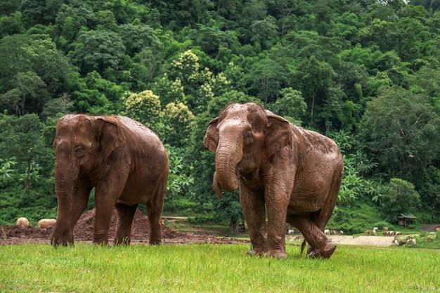Elefantes em chiang mai. elephant nature park, tailândia