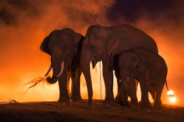 Elefantes família do elefante, surin tailândia.