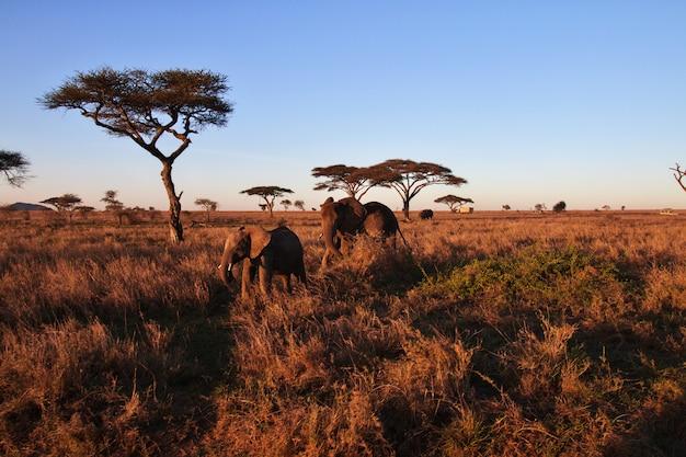 Elefantes na savana na tanzânia