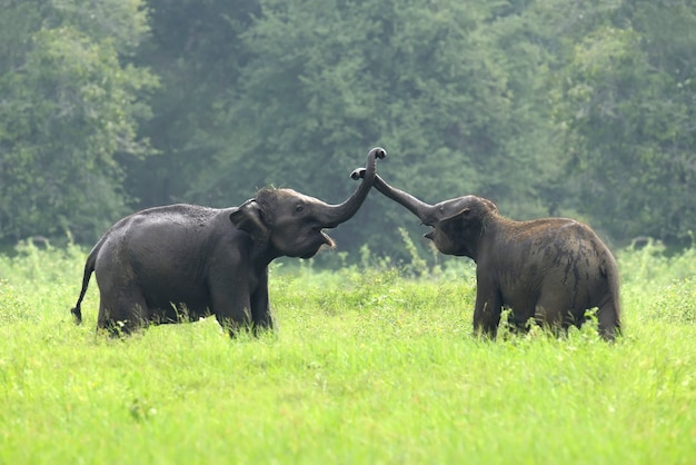 Elefantes no parque nacional do sri lanka