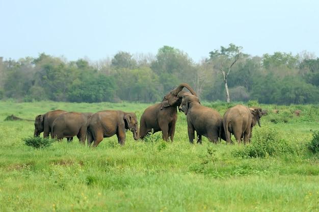 Elefantes no parque nacional, sri lanka