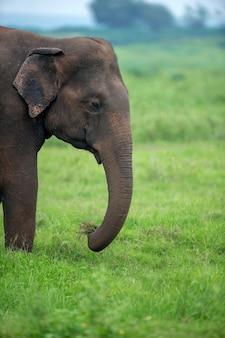 Elefantes no parque nacional yalla do sri lanka