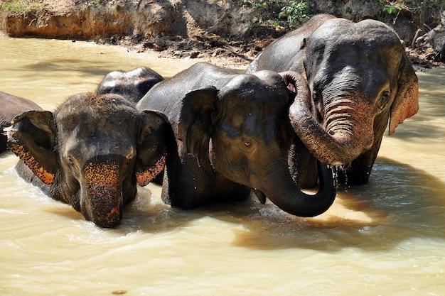 Elefantes no rio