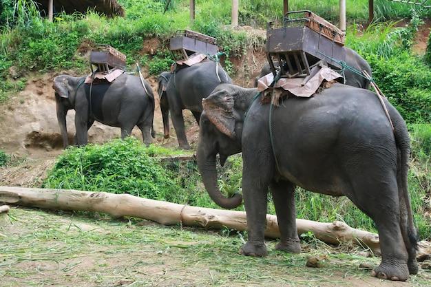 Elefantes para o registro, chiang mai, tailândia