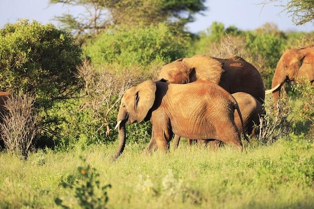 Elefantes parados lado a lado em um campo verde no quênia, na áfrica