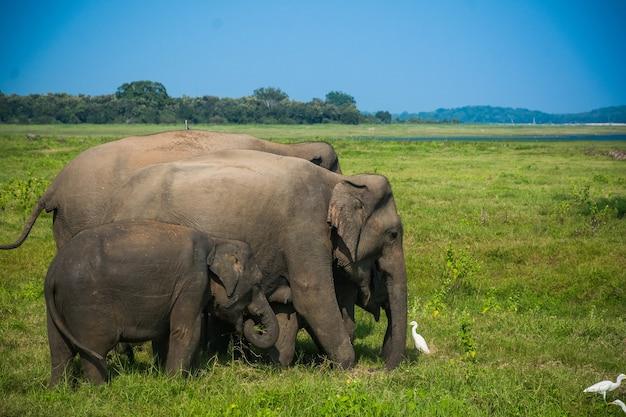 Elefantes selvagens e safári em kaudulla, minneriya no sri lanka