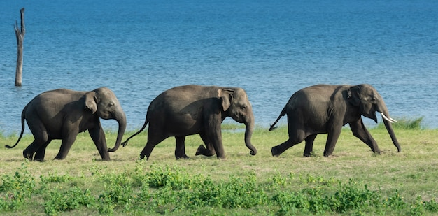 Elefantes selvagens no sri lanka