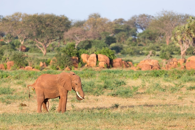 Elefantes vermelhos grandes no parque nacional tsavo east