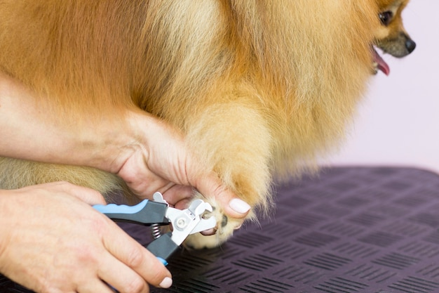 Eles cortam as garras do cachorro. as mãos da mulher foram cortadas com garras, tesouras. pomerânia