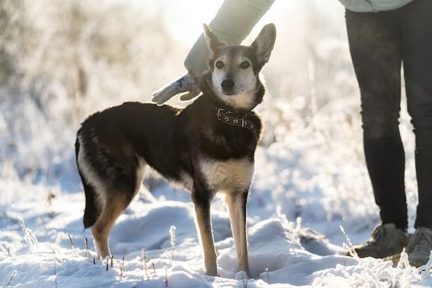 Em um dia ensolarado de inverno e com neve, um cachorro de dois tons de tamanho médio com uma coleira fica parado na neve