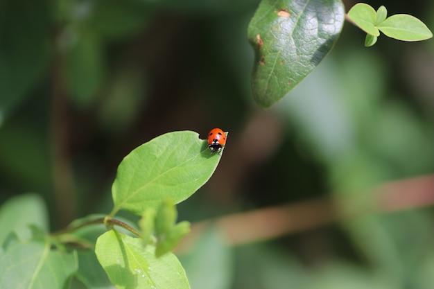Em um dia ensolarado, uma joaninha vermelha caminhando sobre folhas verdes fofas