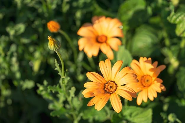 Em um fundo verde é doronikum amarelo ensolarado da flor com gotas da água.