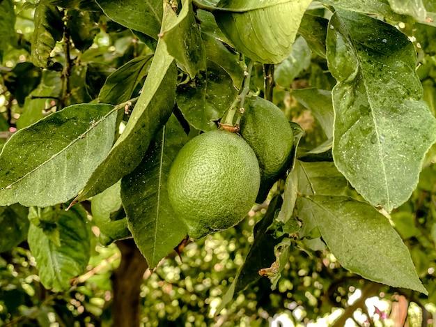 Em um galho de uma árvore, limões verdes maduros contra um fundo de árvores e folhas em tons naturais de verdes.