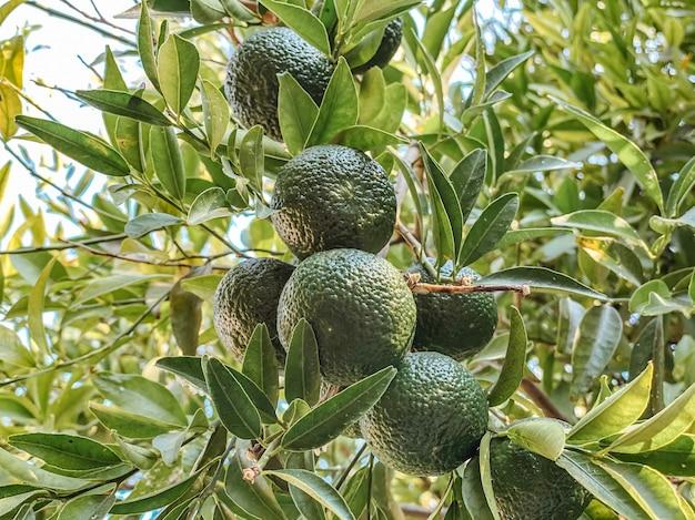 Em um galho de uma árvore, tangerinas verdes maduras contra um fundo de árvores e folhas em tons naturais de verdes.