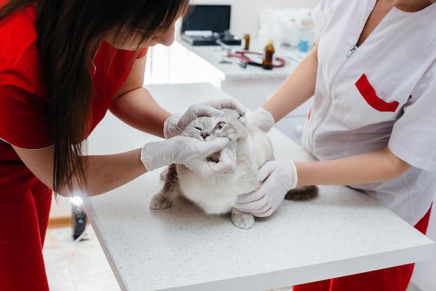 Em uma clínica veterinária moderna, um gato puro-sangue é examinado e tratado em cima da mesa. clínica veterinária.