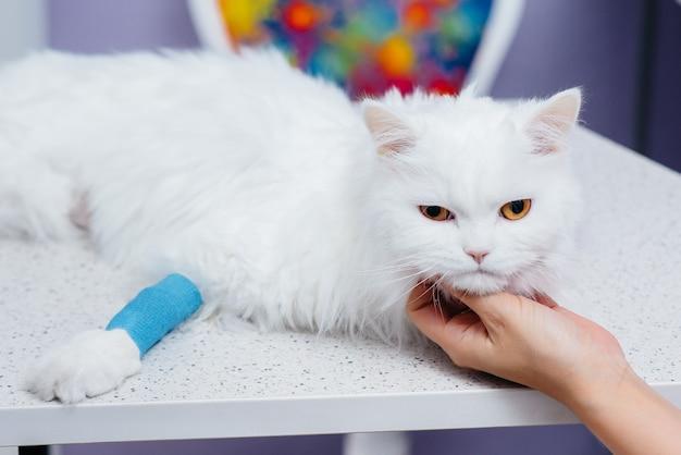 Em uma clínica veterinária moderna, um gato puro-sangue é examinado e tratado na mesa. clínica veterinária.
