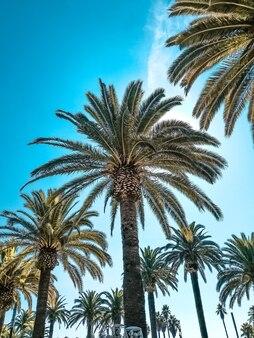 Em uma foto, palmeiras contra um lindo céu azul brilhante