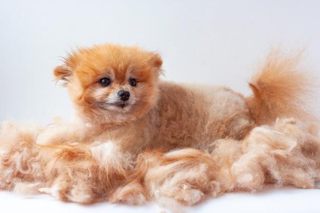 Em uma pilha de lã tosada encontra-se um pequeno lulu da pomerânia e olha para o cão da câmera se preparando.