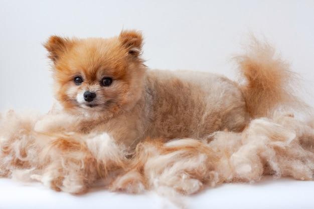 Em uma pilha de lã tosada encontra-se um pequeno pomerânia e ergueu as orelhas para cuidar dos cães.