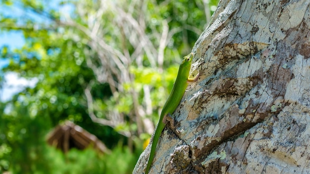 Emerald lizard on palm perto de yenanas homestay, gam island, west papuan, raja ampat, indonésia.