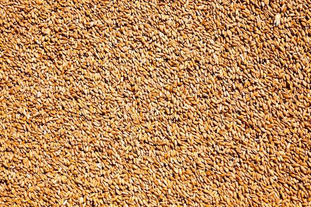 Empilhados em uma grande pilha de trigo durante a colheita dos cereais
