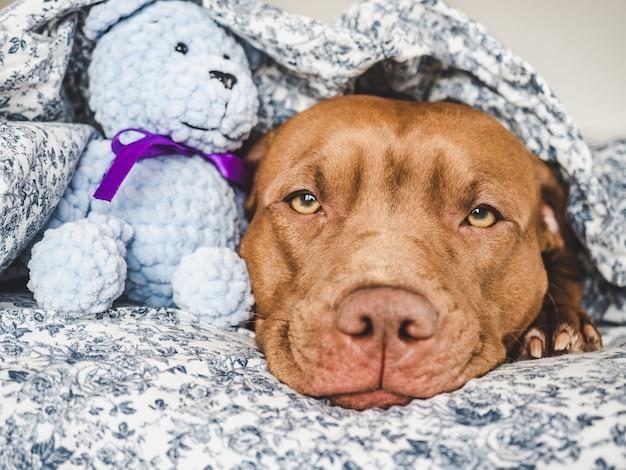 Encantador, adorável cachorrinho de cor marrom. close-up, interior. luz do dia. conceito de cuidado, educação, treinamento de obediência, criação de animais de estimação