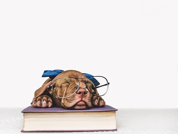 Encantador e adorável cachorrinho de cor marrom. close-up, interior. foto de estúdio. conceito de cuidado, educação, treinamento de obediência, criação de animais de estimação