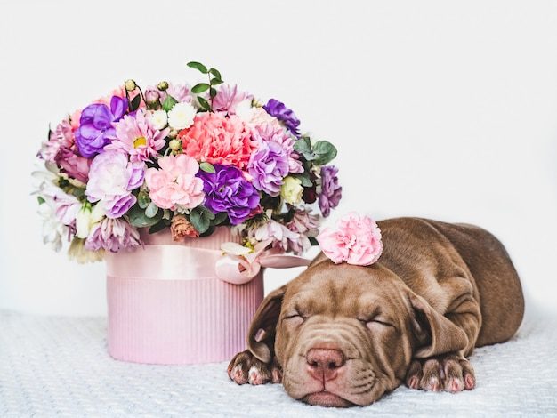Encantador e adorável cachorrinho de cor marrom. close-up, interior. luz do dia. conceito de cuidado, educação, treinamento de obediência, criação de animais de estimação