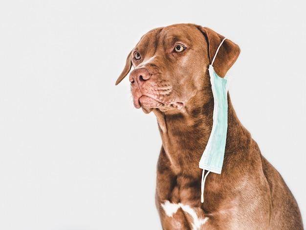 Encantador e adorável cachorrinho marrom segurando uma máscara médica.