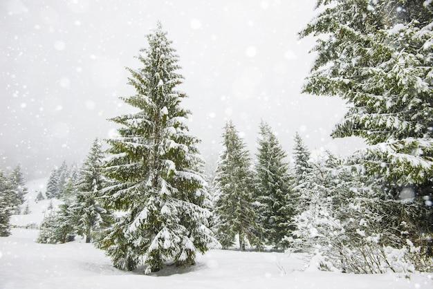 Encantador panorama austero de altos abetos cobertos de neve cresce na floresta em um dia gelado de inverno. o conceito de natureza árida do norte e recreação no campo no inverno