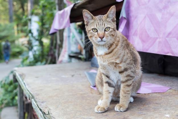 Encontro eyed amarelo do gato tailandês bonito no olhar de madeira da tabela na câmera.
