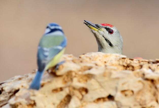 Encontro inesperado de um pica-pau grisalho e chapim-azul no alimentador da floresta.