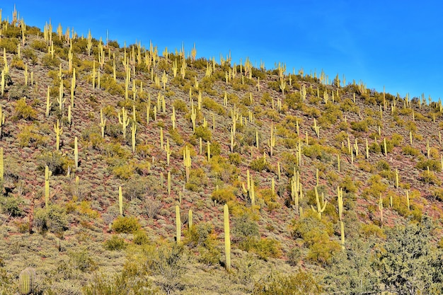 Encosta de saguaros