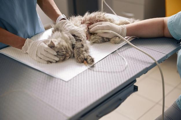 Enfermeira acalma gato cinza com cicatriz no abdômen enquanto o veterinário realiza investigação de ultrassom em