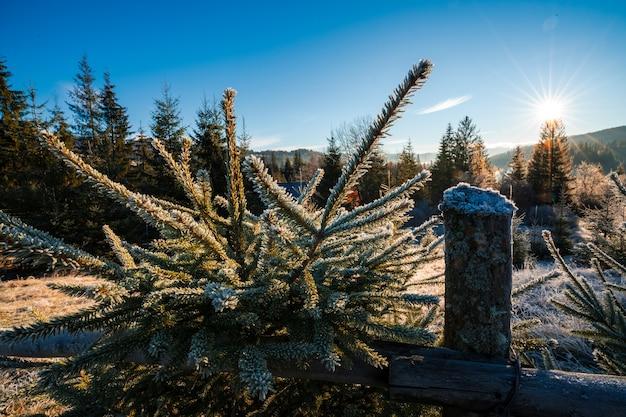Engraçada e fofa árvore de natal salpicada de neve branca e fofa em um prado ensolarado nas montanhas incomuns dos cárpatos