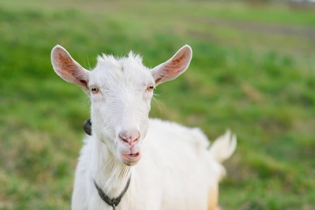 Engraçado cabra alegre pastando em um gramado verde. feche o retrato de uma cabra engraçada. animal de fazenda. a cabra está olhando para a câmera.