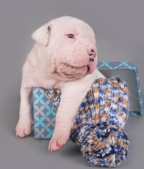 Engraçado cachorrinho bulldog americano branco bocejando em um cenário cinza