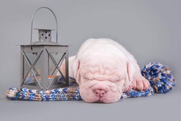 Engraçado cachorrinho bulldog americano dormindo com uma lanterna cinza