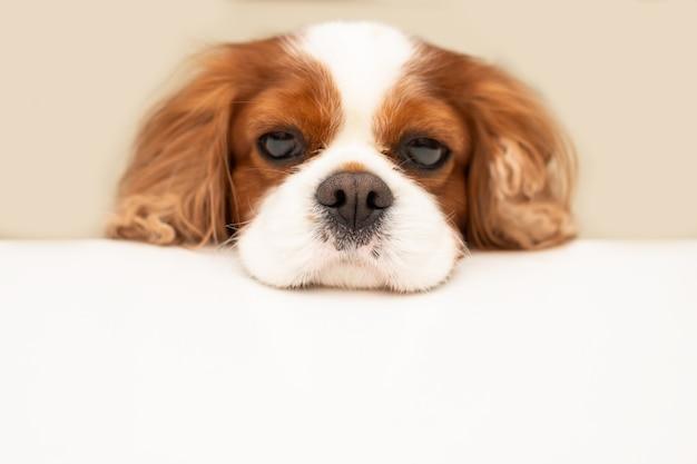 Engraçado cão com cabeça fofa cavalier king charles spaniel. copie o espaço para o texto em um painel branco