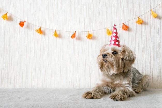 Engraçado, cute, yorkshire terrier, yorkie, cão, em, vermelho, partido, chapéu, boné