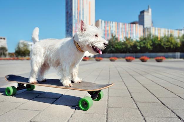Engraçado engraçado west highland terrier a bordo longo na cidade