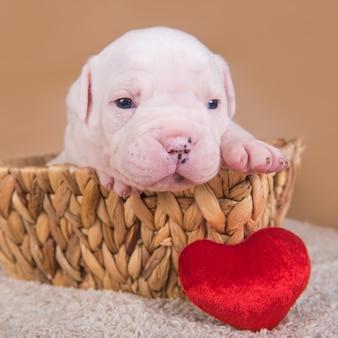 Engraçado filhote de cachorro bulldog americano pequeno está sentado em uma cesta de madeira com coração vermelho no dia dos namorados.
