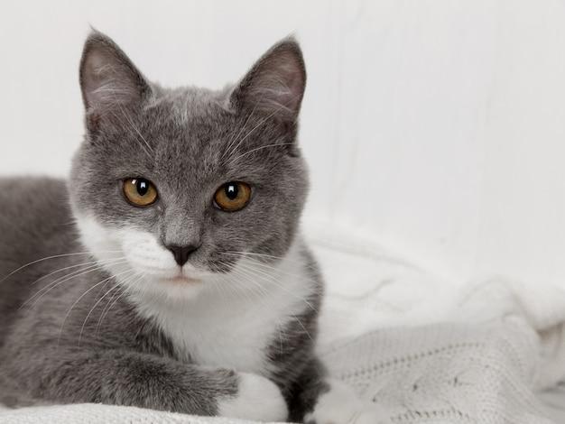 Engraçado gatinho cinzento em uma manta de malha branca. bem é tocado e descansado.