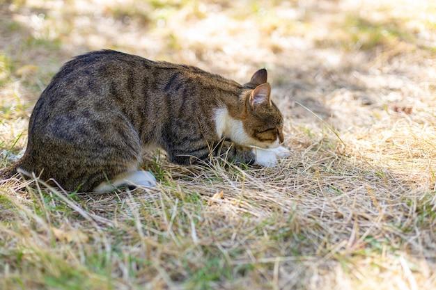 Engraçado gato adulto cinza listrado com bigode comprido sentado na grama do parque