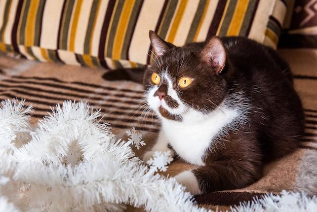 Engraçado gato britânico cor de chocolate jogando