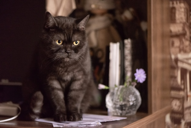 Engraçado gato escocês preto reto senta-se na mesa